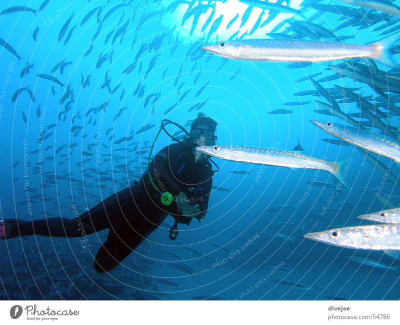 Ocean Blue Fish Dive Turquoise Air bubble Diver Egypt Coral Underwater photo Shoal of fish Dahab Red Sea Barracuda