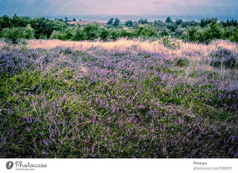 Heather field Nature Beautiful Green Colour Plant Summer Landscape Flower Meadow Autumn Grass Blossom Natural Garden Pink Wild