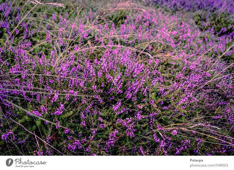 Heather Beautiful Summer Garden Decoration Nature Landscape Plant Autumn Flower Grass Blossom Meadow Natural Wild Green Pink Colour Mountain heather Purple