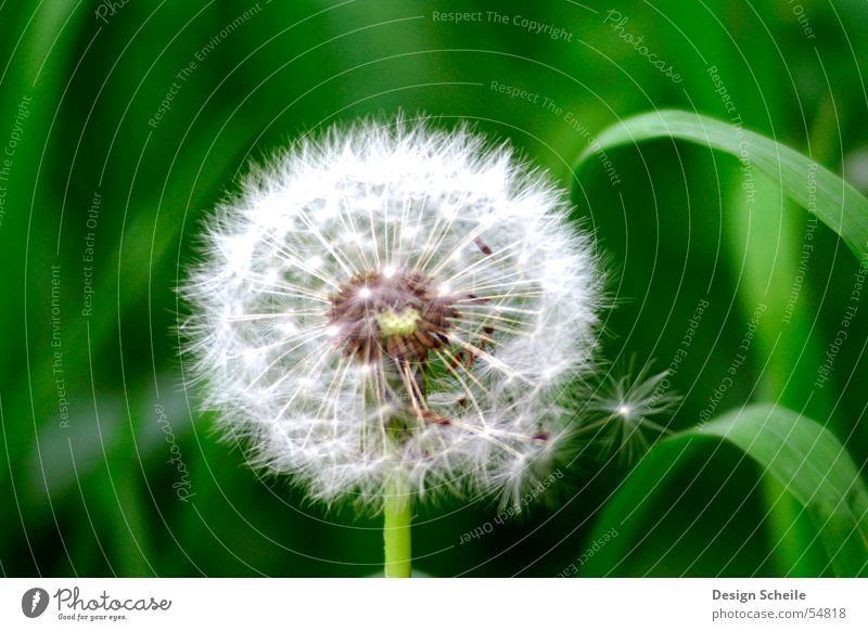 fluffy Flower Dandelion Green Things Meadow Garden Nature Close-up detailed view