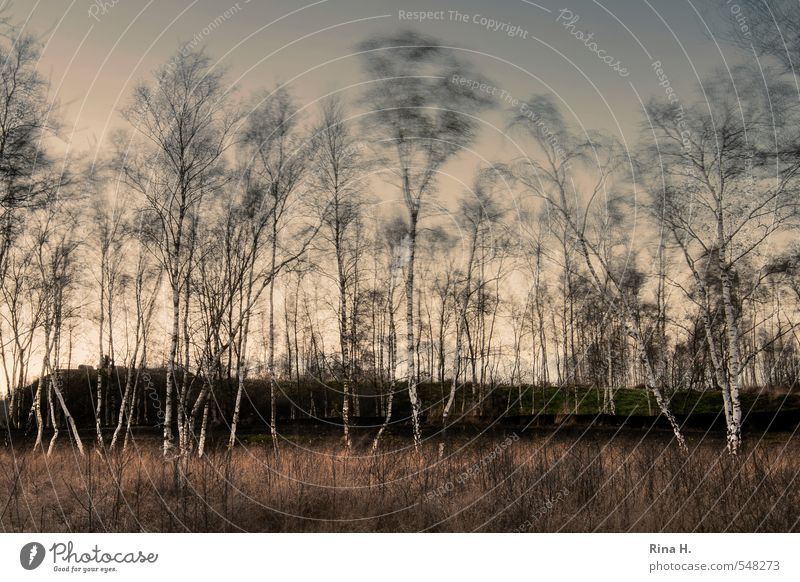 Birches in the wind Environment Nature Landscape Plant Autumn Beautiful weather Wind Gale Tree Bog Marsh Natural Moody Loneliness Birch tree Mystic Hill
