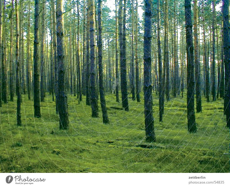 pine forest Forest Coniferous forest Summer Green Brandenburg Twilight Wood flour Pine Evening