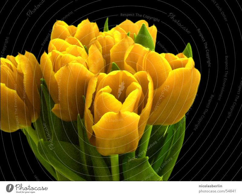 Flower Joy Yellow Spring Decoration Blossoming Tulip Surprise Valentine's Day Isolated Image