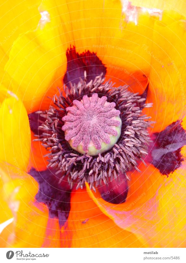 Flower Colour Poppy Pistil