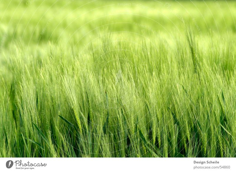in the wind Ear of corn Spring Green Field Agriculture Grain Nature Close-up ornfeld Wind