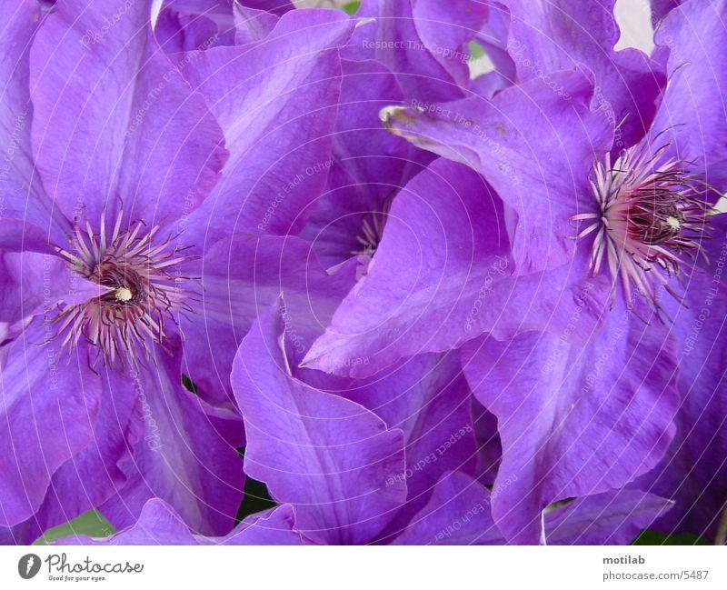 purple Violet Purple Flower Blossom