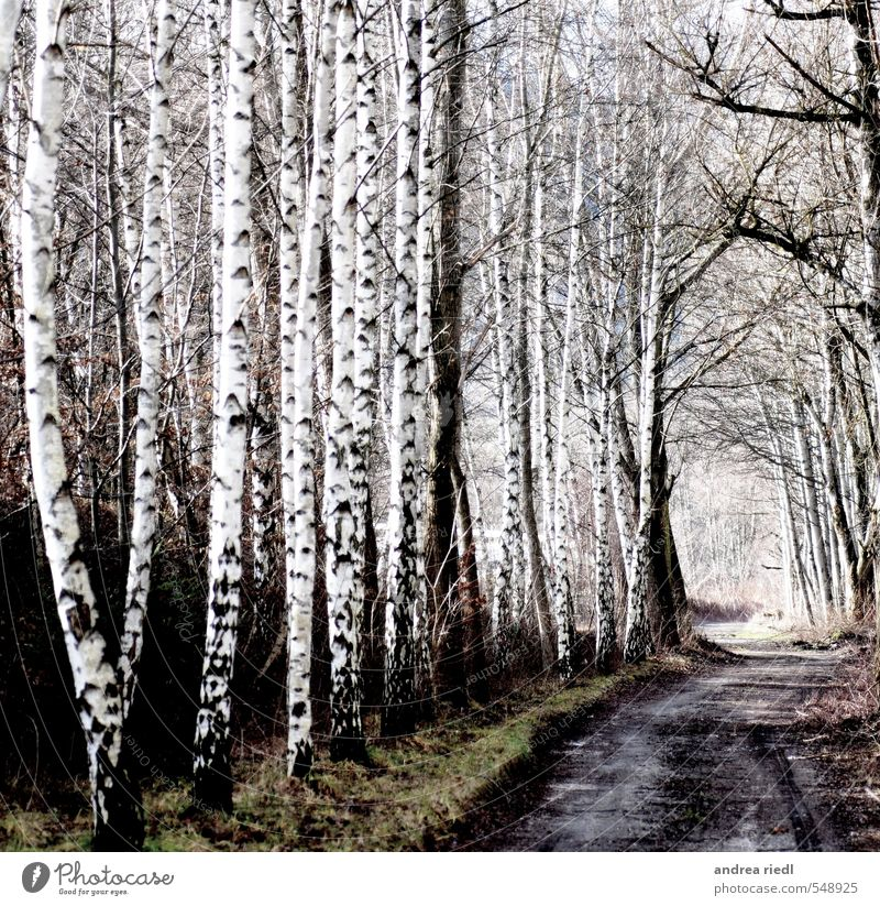 birch grove Environment Nature Landscape Autumn Winter Plant Tree Grass Park Meadow Forest Deserted Lanes & trails Wood Relaxation Love Positive Gray Green