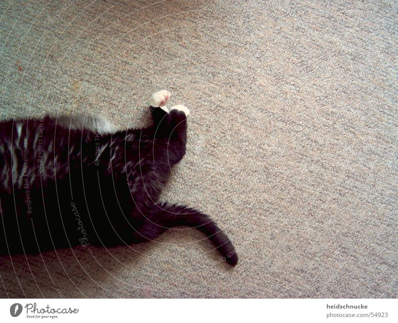 Black Animal Relaxation Cat Brown Sleep Bottom Gloomy Break Ground Soft Floor covering Lie Hind quarters Mysterious Overweight