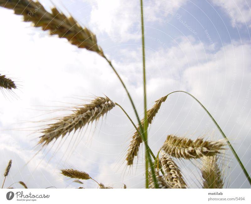 Summer Field Grain