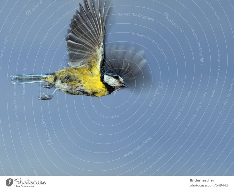 Flying Blue Tit Tit mouse Flight of the birds Wild bird Wing Judder Songbirds Passerine bird Bird Airplane Feather Sky Go up Useful Outstretched Owl Small Claw