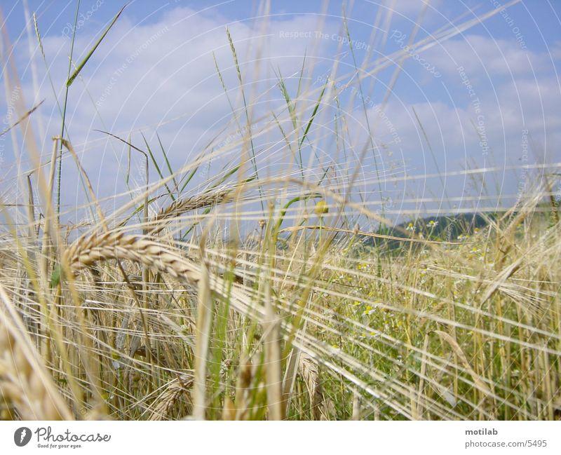 Summer Field Grain Grain