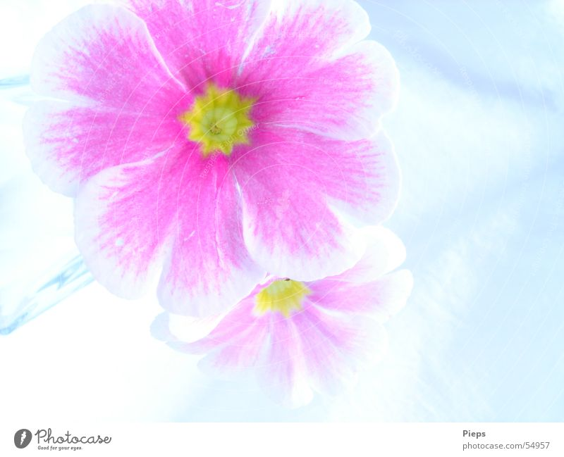 Pink Again Colour photo Interior shot Macro (Extreme close-up) Neutral Background Nature Plant Spring Blossom Blossoming White Primrose 2 flowers