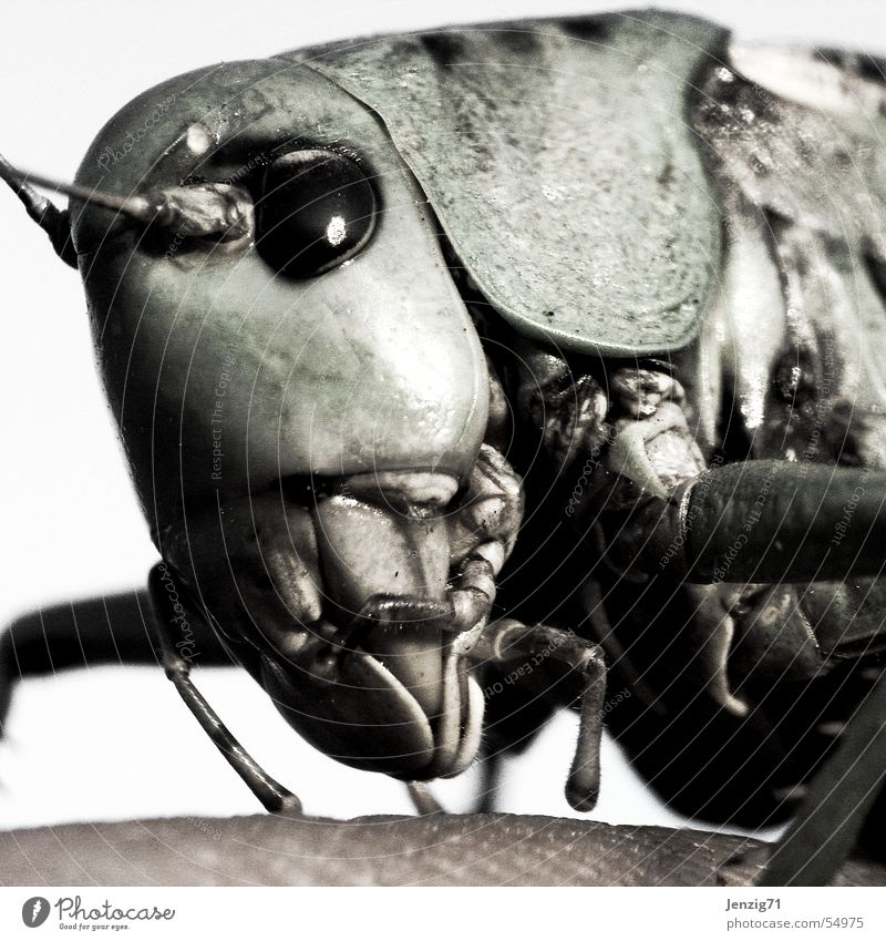 Insect Near Bite Locust Eating mechanism Great green bushcricket Wart-biter cricket