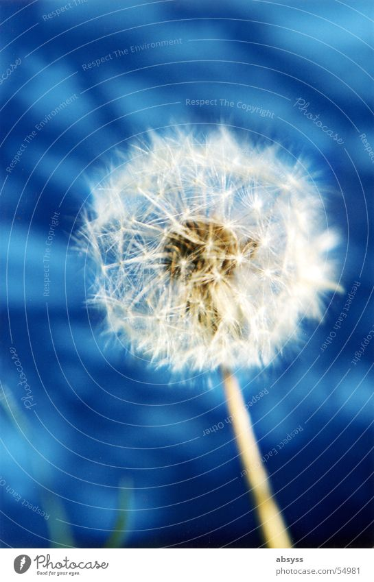 Nature White Flower Blue Plant Summer Autumn Air Wind Dandelion Blow Seasons