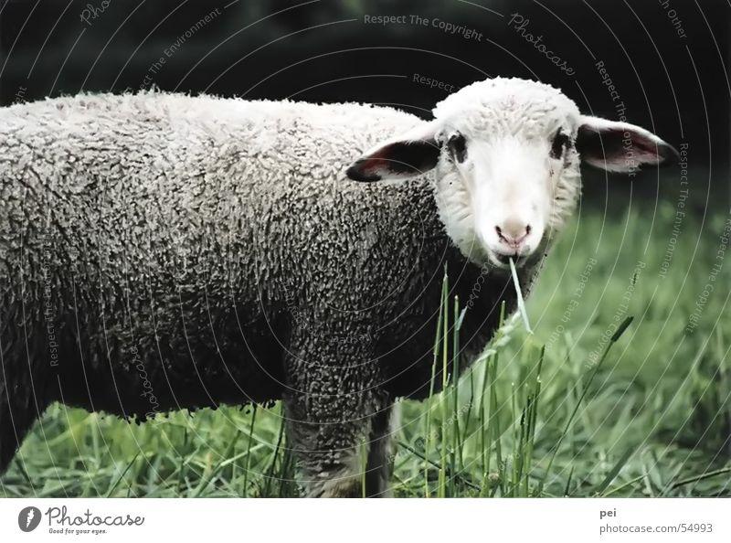 beast Animal my animal--lamb beautiful lamb