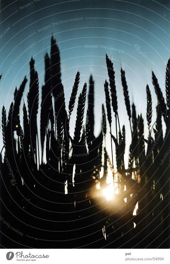 plants Wheat Back-light Plant