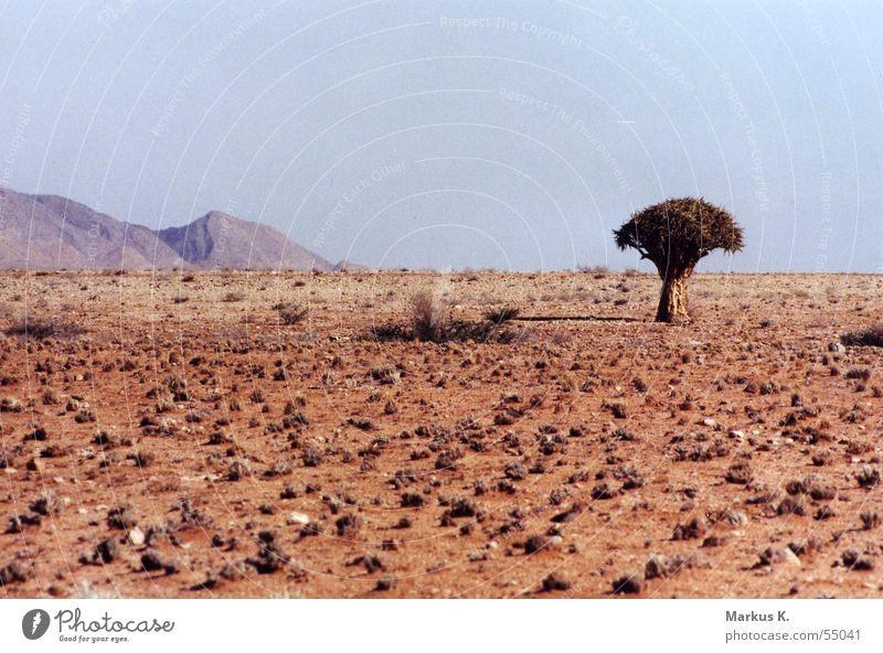 quiver tree Namibia Kokerboom tree Loneliness Hot Physics Africa Dry Quiver Bushman Tree Namib desert Desert Mountain Earth Warmth Thirst Sparse Arrow Arch