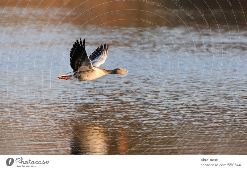Greylag Goose in flight Animal Water Sunlight Pond Lake Bird 1 Flying Free Infinity Blue Gray Red Freedom Gray lag goose departure Floating Wing Hover Glide