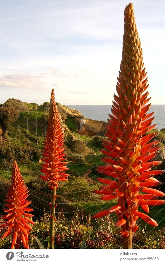 red blossom Plant Flower Red Ocean Portugal Sky