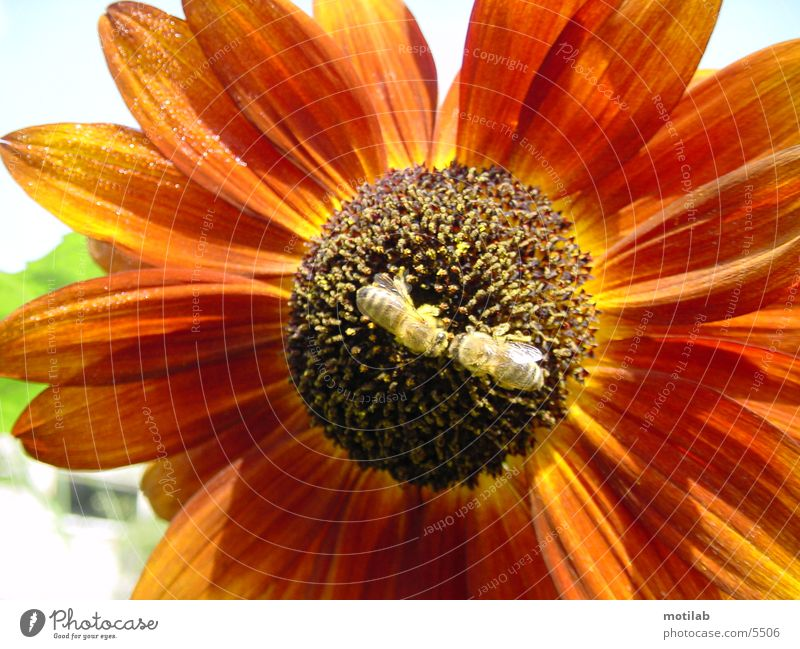 Pollination kiss in the pollen sea Sunflower Bee Pollen Summer pollination