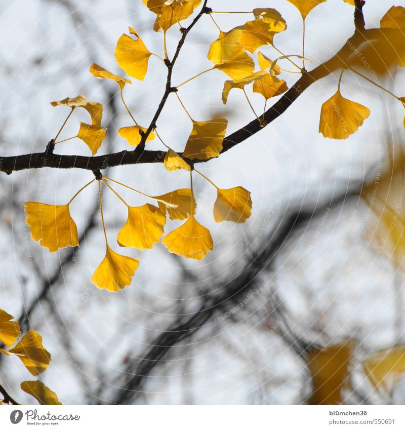 Homeopathic memory support Nature Plant Autumn Tree Leaf Ginko Twig Deciduous tree Esthetic Exceptional Exotic Natural Yellow Growth Transience Healthy