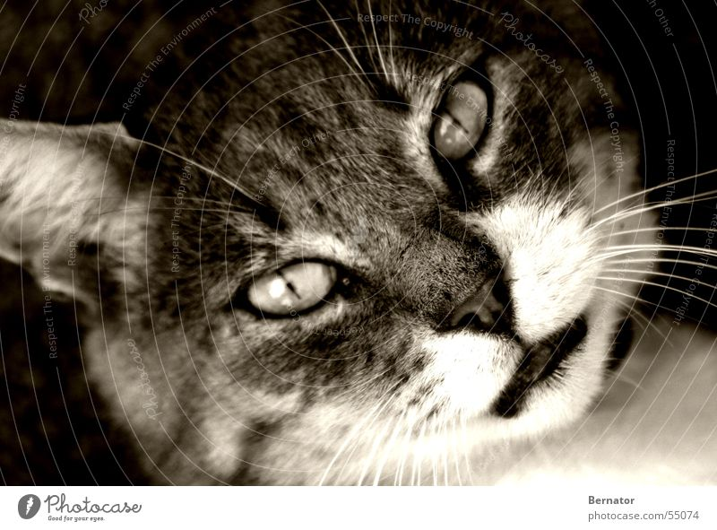 I see inside you.... Cat Cat's head Animal Wilderness Domestic cat Gray scale value Pelt Eyes Cat eyes deep look Looking Tabby cat Black & white photo