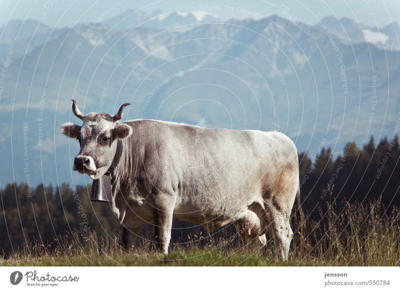 On the way to the painter Environment Nature Animal Grass Meadow Alps Mountain Farm animal Cow 1 Stand Bright Beautiful Alpine pasture Bell Cow bell Antlers