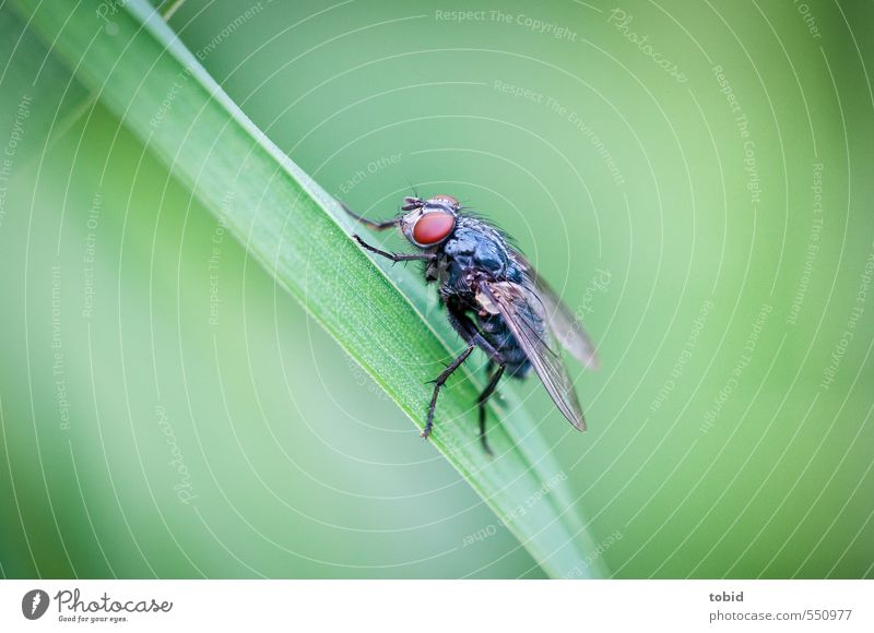 A fly Nature Animal Grass Blade of grass Fly Wing Mosquitos Compound eye 1 Crouch Glittering Small Near Brown Green Black Colour photo Exterior shot Close-up