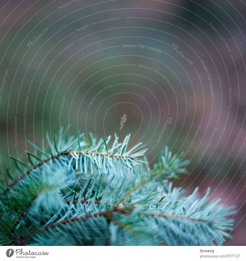 Undecorated Nature Autumn Plant Tree Wild plant Spruce Fir needle Forest Point Thorny Brown Green Turquoise Protection Colour photo Close-up Deserted