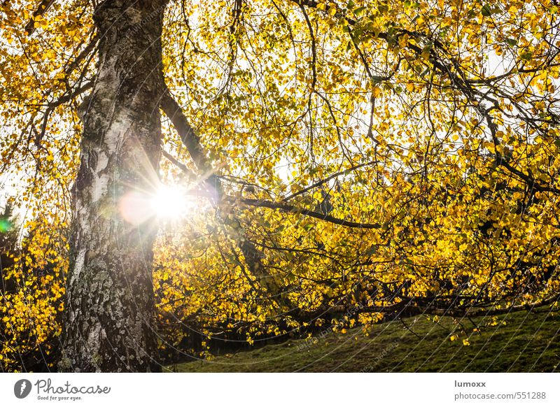 Autumn (t) Sunlight Tree Leaf Forest Yellow Birch tree Back-light Autumn leaves Autumnal Autumnal colours Automn wood Colour photo Exterior shot Day Light