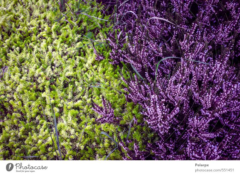 Heather Nature Beautiful Green Colour Plant Summer Landscape Flower Meadow Autumn Grass Blossom Natural Garden Pink Wild