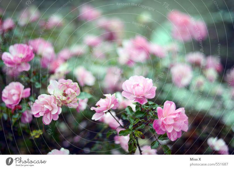 Summer Flower Spring Garden Pink Blossoming Rose Fragrance Rose plants Rose blossom