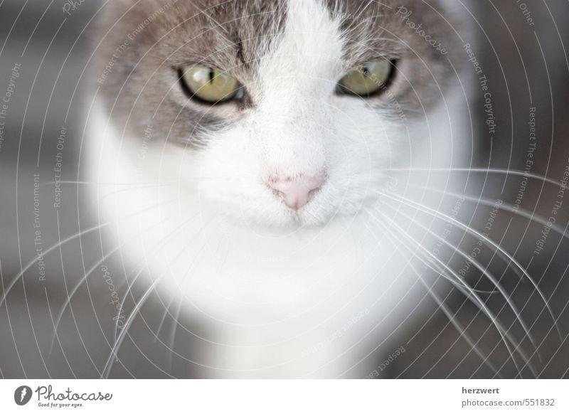 Cat Calm Animal Pet Whisker Cat eyes
