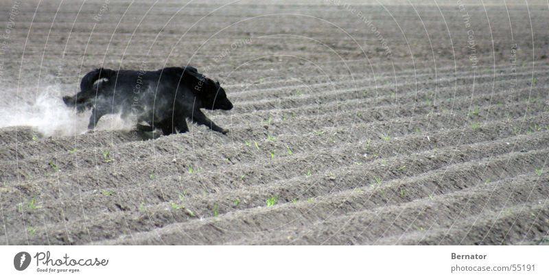 race Dog Sporting event Field Speed Black Potato field Playing Walking retriever flat-coated Running