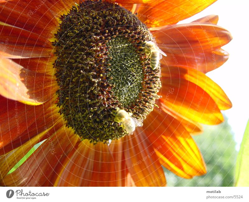 Sun Red Summer Bee Sunflower Collection Pollen Honey Collector