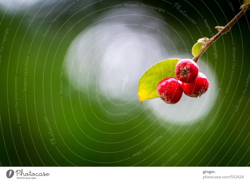 Red pompons Environment Nature Plant Autumn Beautiful weather Bushes Green bokeh Whorl Fruit Berry bushes Berries Twig 3 light and dark Seed head Hang Small