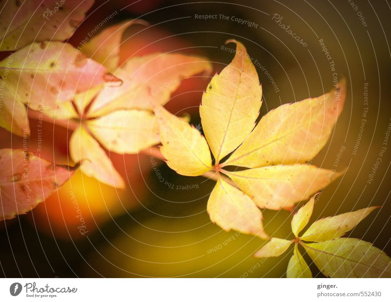 Happy birthday, Photocase! | Autumn sun on leaf Nature Plant Weather Beautiful weather Warmth Bushes Leaf Friendliness Near Natural Brown Yellow Gold Red