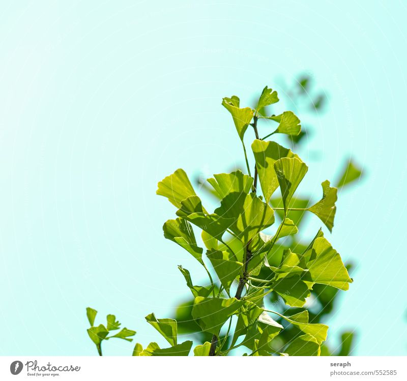 Ginkgo Plant Green Tree Health care Growth Blossoming Branch Herbs and spices Wellness Tradition Treetop Botany Alternative medicine Shoot Asians Leaf green