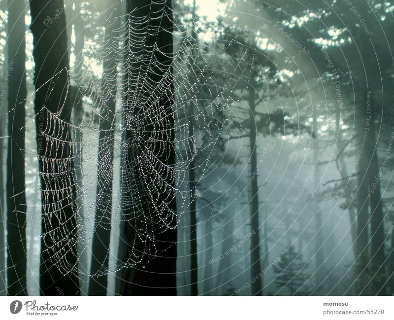 spider forest Forest Tree Scots pine Spider's web Light Fog Autumn Interlaced Light (Natural Phenomenon) Rope