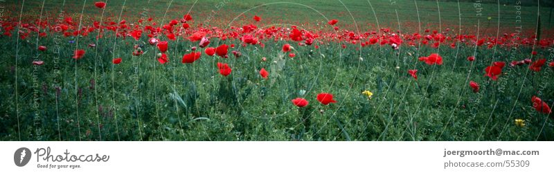 intoxicating Poppy Meadow Grass Red Flower Italy Abruzzi Blossom Panorama (View) Calm Landscape summer green Contrast Colour relaxation Large Panorama (Format)