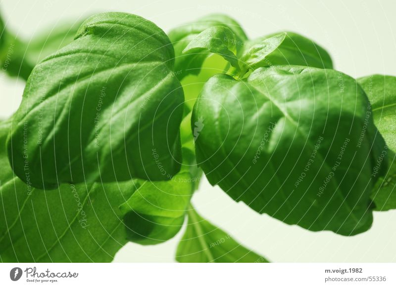 Green Plant Leaf Healthy Fresh Cooking & Baking Kitchen Herbs and spices Delicious Vitamin Agricultural crop Isolated Image Basil Side dish