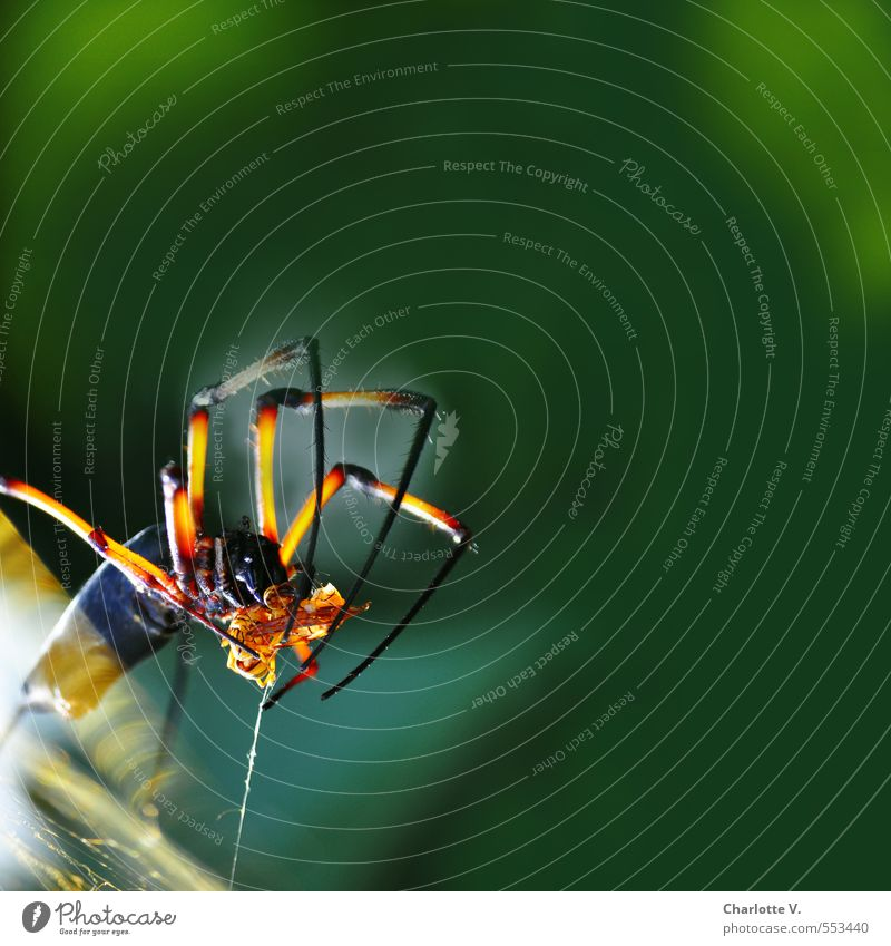 fat prey Nature Animal Wild animal Spider palm spider 1 Work and employment Catch To hold on Glittering Hunting Illuminate Stand Threat Exotic Yellow Green Red