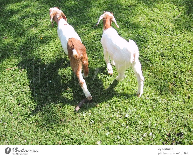 A good friend Kid (Goat) Animal Meadow Green Spring Summer Goats Brown Pelt Soft Going Flower 2 Sun Bright Shadow To go for a walk Walking