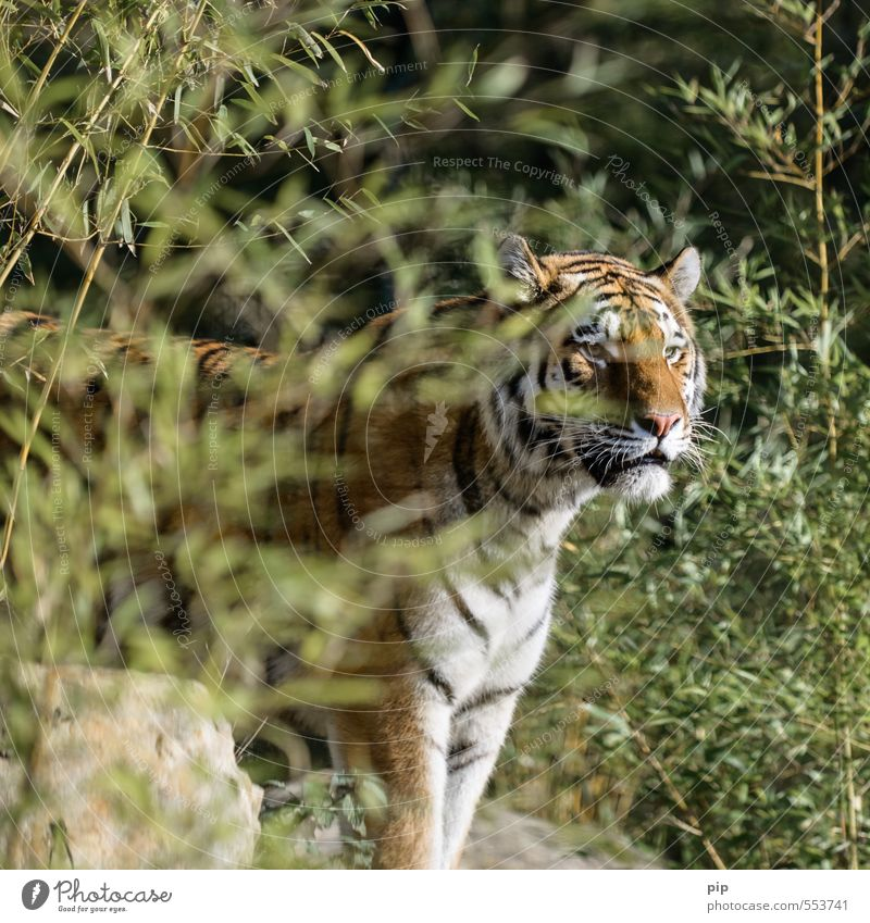more deliberate Plant Bamboo Animal Wild animal Animal face Zoo Tiger Big cat 1 Observe Looking Threat Captured Animal protection Hospitalization Beautiful