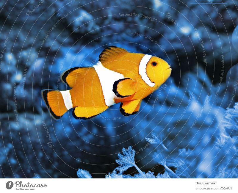 Water Ocean Blue Animal Lamp Cold Warmth Orange Fish Physics Zoo Cinema Aquarium Clown Signal Coral