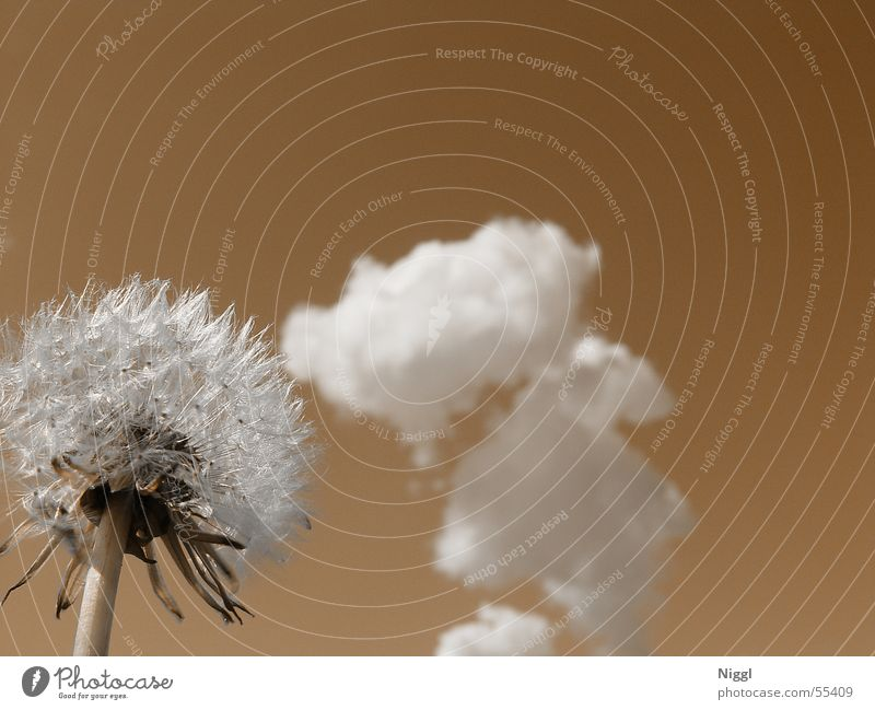 Nature Sky Flower Plant Summer Clouds Brown Perspective Dandelion Faded Dried Duplex