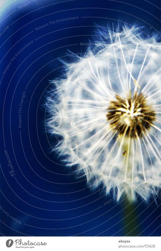 Nature White Flower Blue Plant Summer Autumn Air Wind Dandelion Blow Seasons