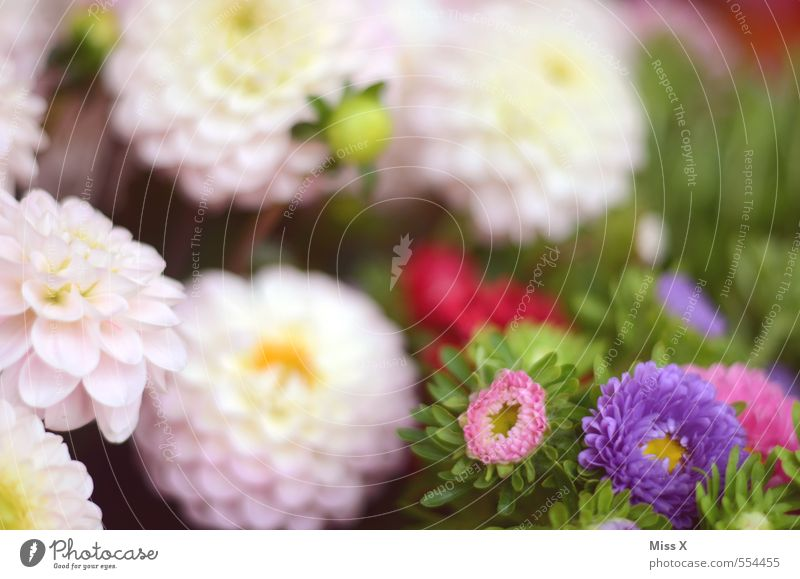 dahlias Garden Nature Plant Summer Autumn Flower Blossom Blossoming Fragrance Pink Dahlia Bouquet Florist Flower shop Violet Flowering plants Colour photo
