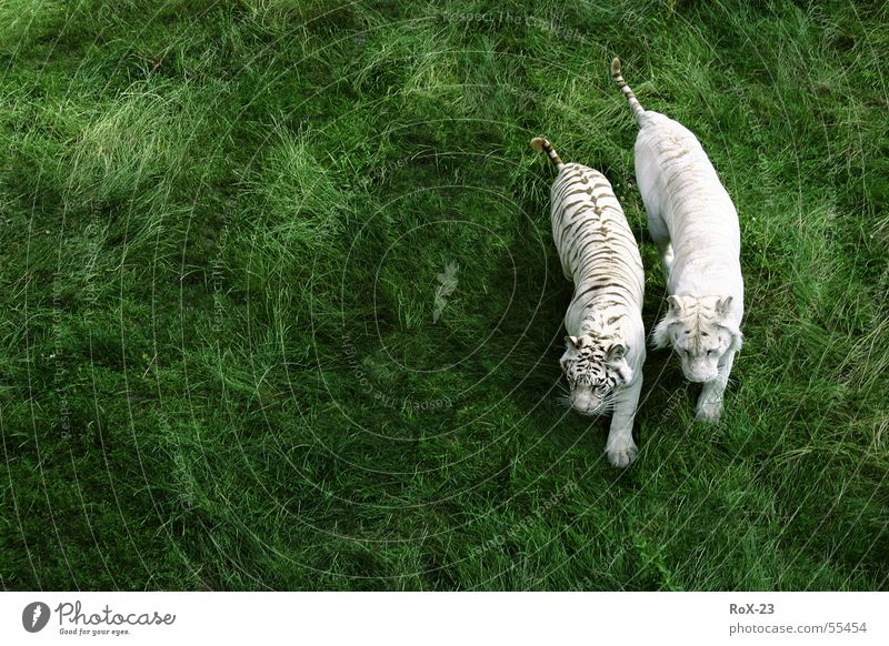 Wild couple Tiger Animal Green Grass White 2 Live Nature Life Wild animal withe Americas In pairs Pair of animals
