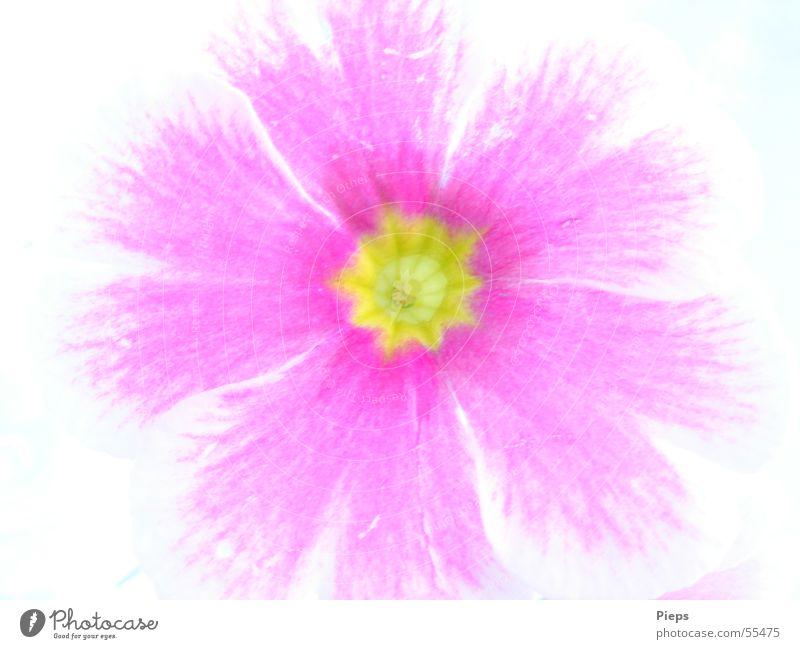 Nature Plant Jump Blossom Spring Pink Primrose
